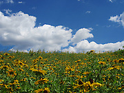 Field of yellow flowers on a hill at Southpoint Park on Roosevelt Island in New York, NY. Contrasting colors!