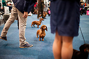 Participants presenting their Dachshund dogs during the ring competition for at the Leipzig Trade Fair. Over 31,000 dogs from 73 nations will come together from 8-12 November 2017 in Leipzig for the biggest dog show in the world.