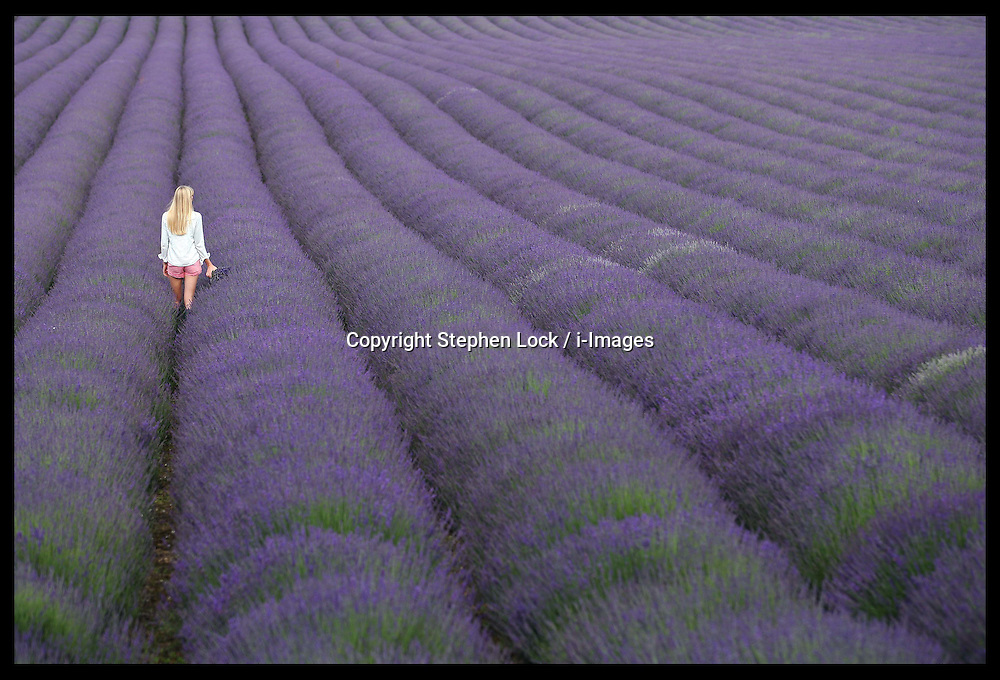A visitor walks through rows of kentish lavender at the Castle Farm Lavender Festival  at Shoreham, Kent, Sunday, 15th July 2012  Photo by: Stephen Lock / i-Images