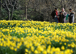 ©London News pictures. 10/03/11.A group of men photograph the daffodils. People enjoy the early sunshine in London's St James' Park today (Mon). Picture Credit should read Stephen Simpson/LNP