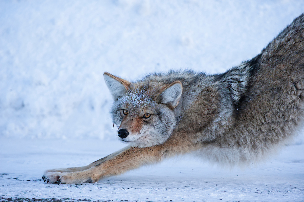 A coyote stretches on a sub-zero morning, Yellowstone National Park