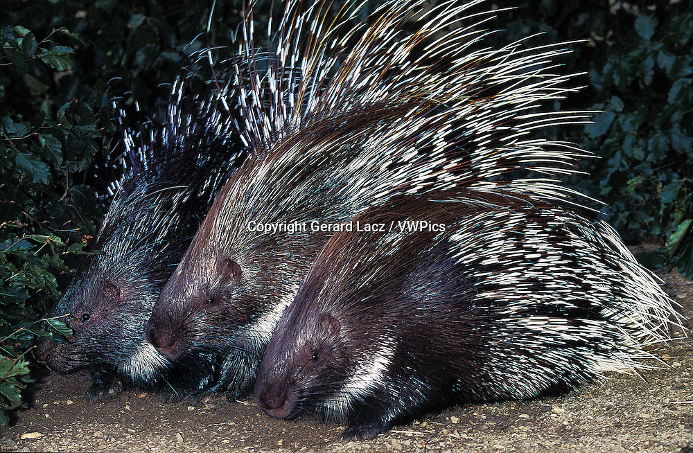 Crested Porcupine, hystrix cristata, Adults
