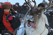 Reindeer run through snow pulling sleds full of tourists in hills of Kvaloya near Tromso, Norway.