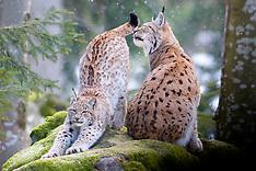Euraziatische lynx (c)