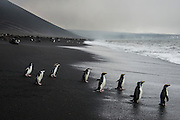 Penguins on Saunders island, South Sandwich, Antarctica