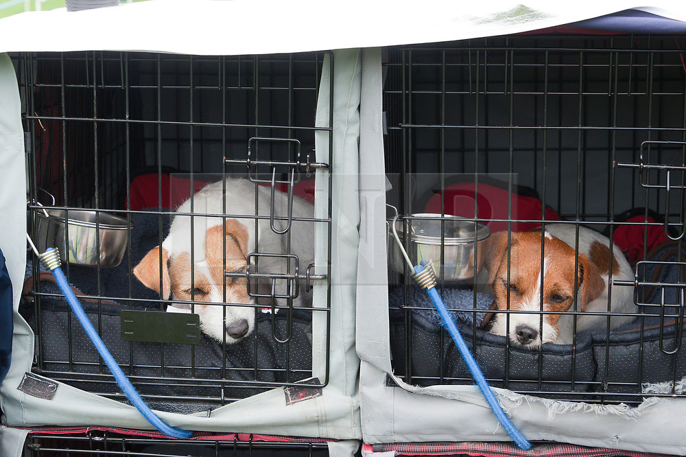 © Licensed to London News Pictures. 18/08/2018. Llanelwedd, Powys, UK.   Terriers relax between events on the second day of The Welsh Kennel Club Dog Show, held at the Royal Welsh Showground, Llanelwedd in Powys, Wales, UK. Photo credit: Graham M. Lawrence/LNP