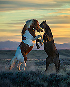 "Stallions fighting on the open prairie at last light in North Central Wyoming. This image appears in the February issue of Cowboys & Indians Magazine in the Equine Division of ""Photographing the West""."