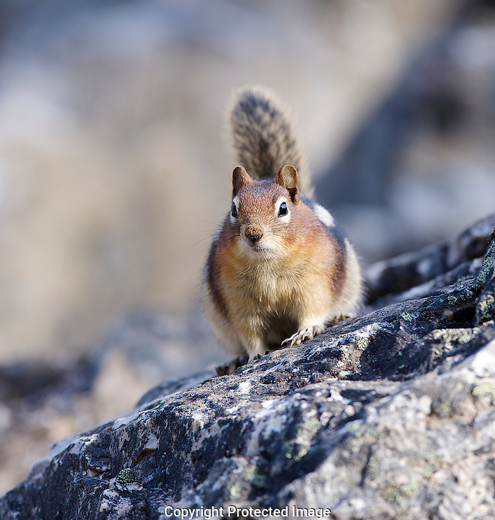 Golden-mantled Ground Squirrel. (Callospermophilus lateralis), Alberta, canada, Isobel Springett