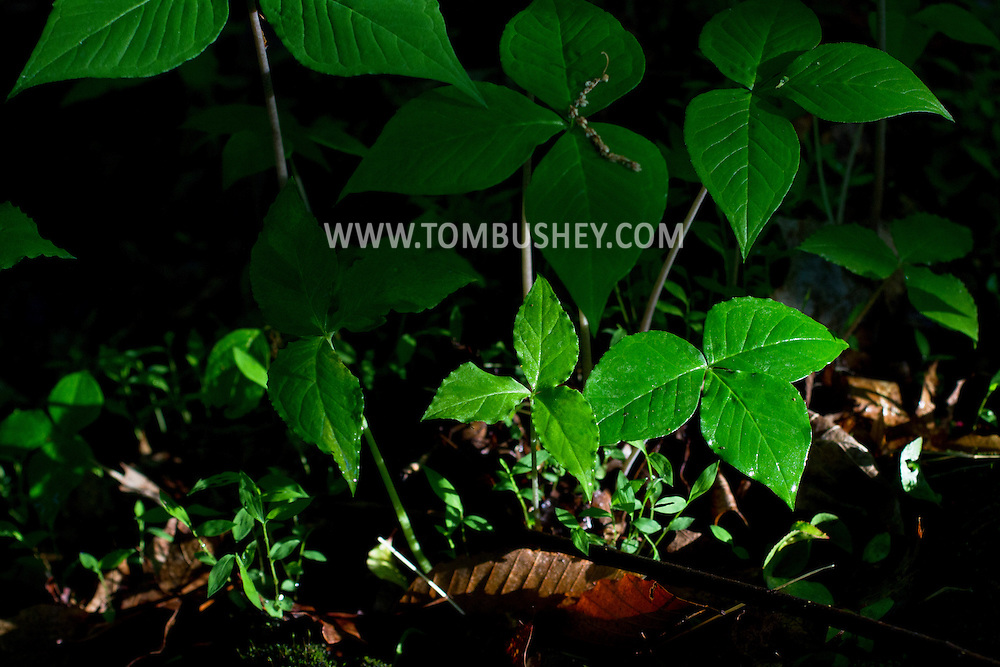 Middletown, New York - Sunlight shines on plants after a rain shower in the woods at Fancher-Davidge Park  on May 22, 2014.