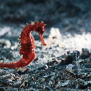 An orange-red thorny seahorse (Hippocampus histrix) making its way across the muck and rubble substrate of Lembeh Strait in North Sulawesi, Indonesia.