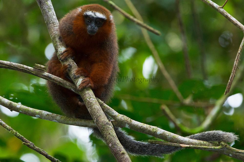 Red Titi Monkey (Callicebus discolor)<br /> Yasuni National Park, Amazon Rainforest<br /> ECUADOR. South America<br /> HABITAT & RANGE: Range of forest types from Colombia, Ecuador and Peru.