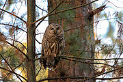 Barred owl (Strix varia) perched