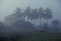 Plowing field with oxen in Java - photograph by Owen Franken