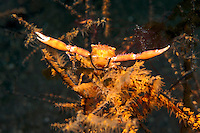 Black Coral Crab, claws outstretched in threat display<br /> <br /> Shot in Indonesia