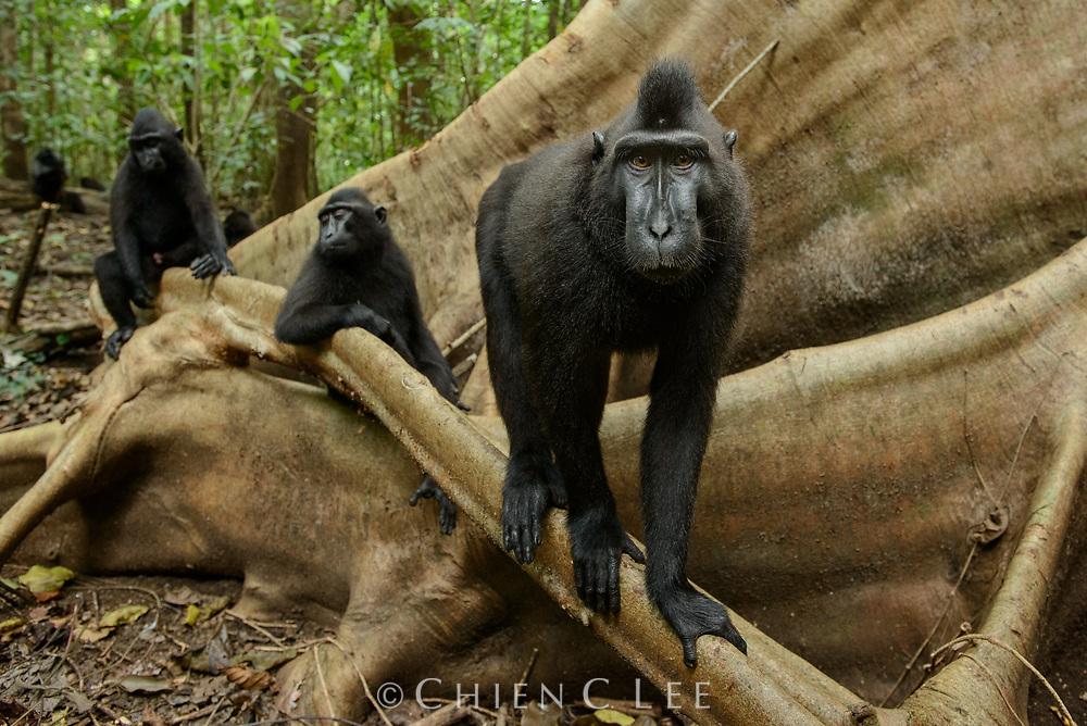 Threatened by habitat loss and hunting pressure, the Crested Black Macaque (Macaca nigra nigra) is now listed as Critically Endangered. This species lives only in forested areas at the northernmost tip of the island of Sulawesi. North Sulawesi, Indonesia.