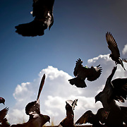Home to hundreds of pigeons, Parque de las Palomas (Pigeon's Park), is located near the Paseo de la Princesa in Old San Juan, Puerto Rico, and is a popular destination for tourists and locals alike.   Pigeons crash land on top of one another as they gobble up food dispersed by tourists.