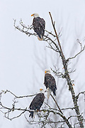 Three bald eagles (Haliaeetus leucocephalus) are perched in the same tree during a snow storm along the Nooksack River in the North Cascades of Washington state. Hundreds of bald eagles winter along the river to feast on spawned-out salmon.