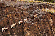 CANADA, Jasper National Park.Bighorn sheep (Ovis canadensis) lined up on rocky cliff