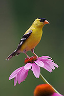 Male American Goldfinch on Purple Coneflower, Carduelis tristis