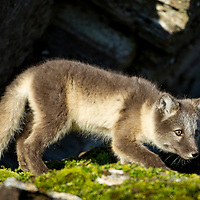 Norway, Svalbard, Spitsbergen Island, Arctic Fox (Vulpes lagopus) kit climbing on rocky cliff near entrance to den on summer day