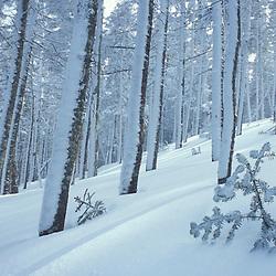 A winter forest scene near Tuckerman Ravine on Mount Washington in New Hampshire's White Mountains. White Mountains, NH
