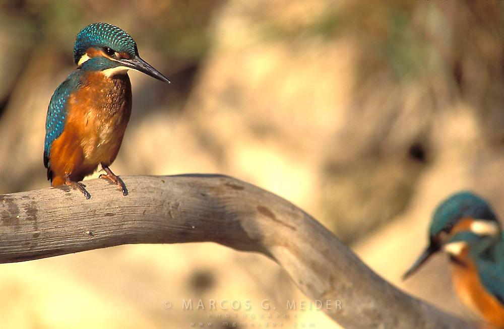 Kingfisher (Alcedo atthis). Spain.<br /> Mart&iacute;n pescador (Alcedo atthis). Espa&ntilde;a.
