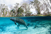 Florida manatee, Trichechus manatus latirostris, a subspecies of the West Indian manatee, endangered. Four manatees rest and warm themselves by a freshwater springhead pumping out clear blue water. A whitefin sharksucker, Echenesis neucratoides, is attached to the underside of the surfacing manatee. A boardwalk or viewing platform is visible amidst the numerous trees. Horizontal orientation split image with sun rays and blue water. Three Sisters Springs, Crystal River National Wildlife Refuge, Kings Bay, Crystal River, Citrus County, Florida USA.