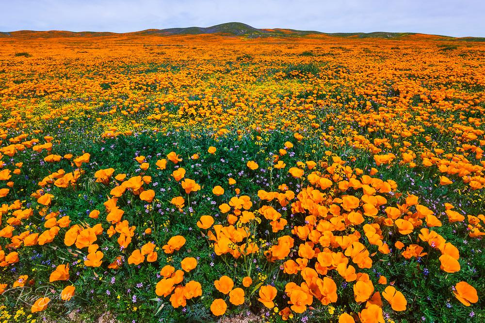 California Poppies (Eschscholzia californica) and Goldfield (Lasthenia californica), Antelope Valley, California USA