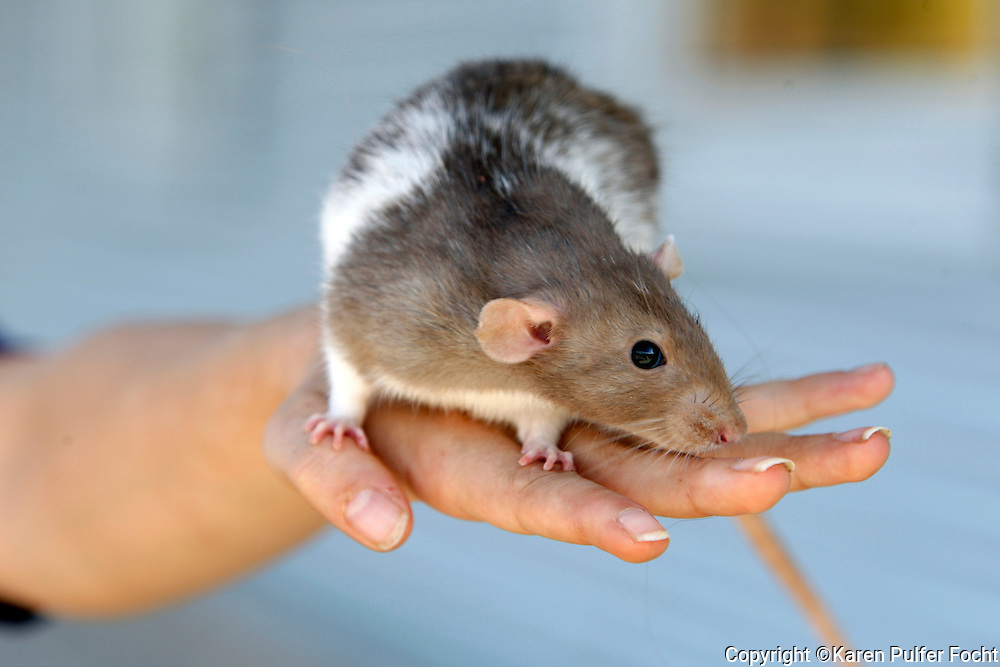 Sarah Weathersby of Munford, Tennessee enjoys her pet rats.  Model Release