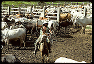 Cowboy on horse twirls lasso over head as he 'cuts' cattle in corral on jungle ranch; Amazonas Brazil