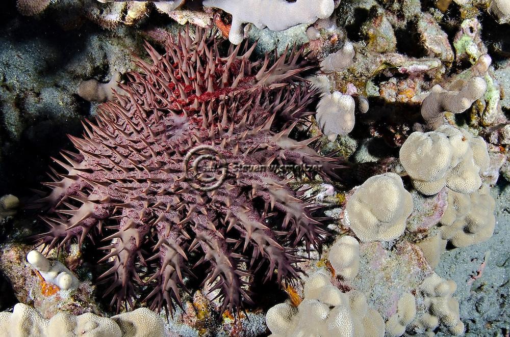 Crown of Thorns starfish, Acanthaster planci, (Linnaeus, 1758), Molokai Hawaii