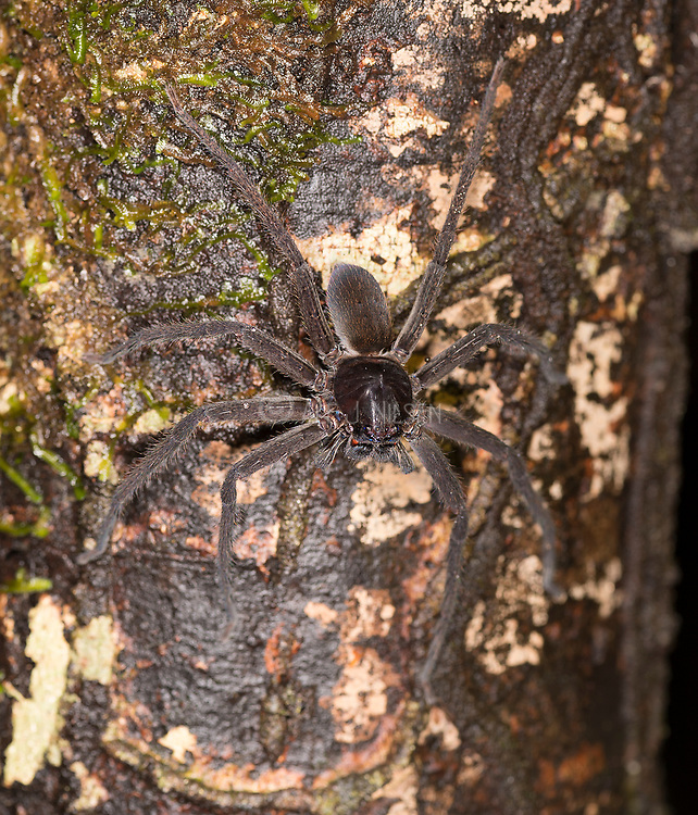 Huntsman spider (Heteropoda sp.?) from Tanjung Puting National Park, Kalimantan, Borneo