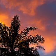Date Palm, Phoenix Hanceana Naudin var, Formosana Becc., Tainan County, Taiwan