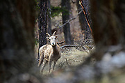 Bighorn sheep in a ponderosap pine and Doug fir forest above the Kootenai River in fall. Purcell Mountains, northwest Montana.