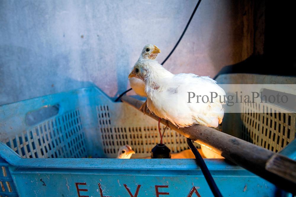 27\10\2010 In una rimessa adibita a pollaio della masseria Salita delle Pere sul Canale di Pirro, due pulcini bianchi di gallina nana sono appollaiati su di un bastone di scopa mentre un terzo spia dalla cassetta azzurra della frutta, loro abitazione...In Puglia, ancora oggi, persistono realtà autentiche e genuine: flora e fauna sono gli ingredienti base delle masserie che con i loro muretti a secco costellano il territorio del tacco d' Italia. Qui l'allevamento è una delle attività principali, ieri come oggi, che il massaro porta avanti quotidianamente con pazienza e devozione. La masseria delle Murge è abitata da equini, bovini, ovini ecc. che sono il motore della produzione alimentare come per esempio la tipica mozzarella. Entriamo quindi in un'atmosfera bucolica che ci fa respirare odori, gustare sapori e ammirare colori che identificano il territorio. Buon viaggio dei sensi..