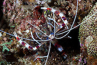 Boxer shrimps are cleaners and they display bright markings to advertise their services to passing fish.  The Lembeh Strait in N Sulawesi is famous for its unusually high marine biodiversity, particularly of unusual animals that live on the exposed sand areas.
