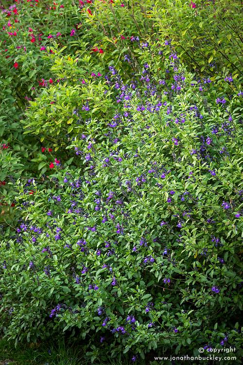 Salvia × jamensis 'Javier' AGM