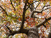 Oak tree fall colors, Letchworth State Park, Portageville, New York, USA. The large park stretches 17 miles between Portageville and Mount Morris in the state of New York, USA. Drive or hike to many scenic viewpoints along the west side of the gorge. Letchworth's huge campground has 270 generously-spaced electric sites.