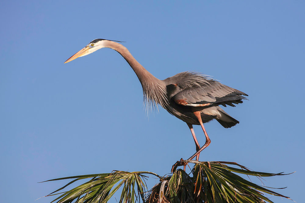 Great Blue Heron on nesting site on top of palm trees looking for mating who is on ground