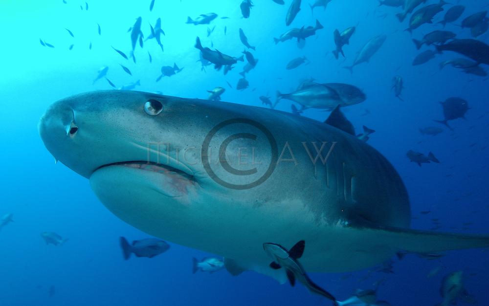 Galeocerdo cuvier Tiger shark, Fiji, South Africa