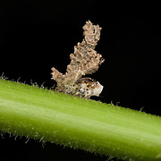A Planthopper in the family Fulgoroidea, and it is an immature nymph.  This family is often characterised by nymphs that secrete a waxy substance that often forms long filaments, presumably for protection.