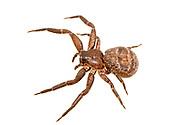 Crab Spider (Bassaniana sp.)<br /> LOUISIANA: Natchitoches Parish<br /> Middle Branch Bog; Peason Ridge Wildlife Management Area in the Kisatchie National Forest<br /> N31.48324 -93.07553<br /> 15-Apr-2015<br /> J.C. Abbott #2727 &amp; K.K. Abbott