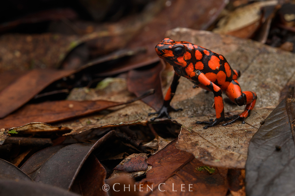 In the dim understory of the forest floor the color of the Harlequin Poison Frog (Oophaga histrionica) seem almost too fantastic to be real. Like other dendrobatid frogs, these colors serve as a warning signal of their toxicity. This species is endemic to the coastal rainforests of Colombia. Utría National Natural Park.