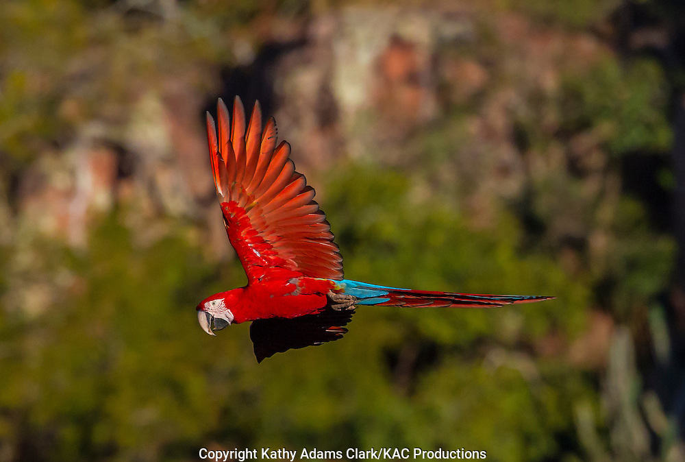Red-and-green Macaw; Ara chloropterus; Brazil; Mato Grosso de Sul; Southern Pantanal