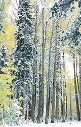 """Snowy Aspens 2""- These snow covered aspens were photographed near the Equestrian Center in Tahoe Donner, CA.<br />