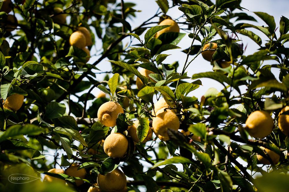 Agrigento, Valle dei Templi. Molteplici sono le varietà di augrumi presenti nel Giardino della Kolymbetra. Proprietà FAI.  ©2012 Vince Cammarata | FOS