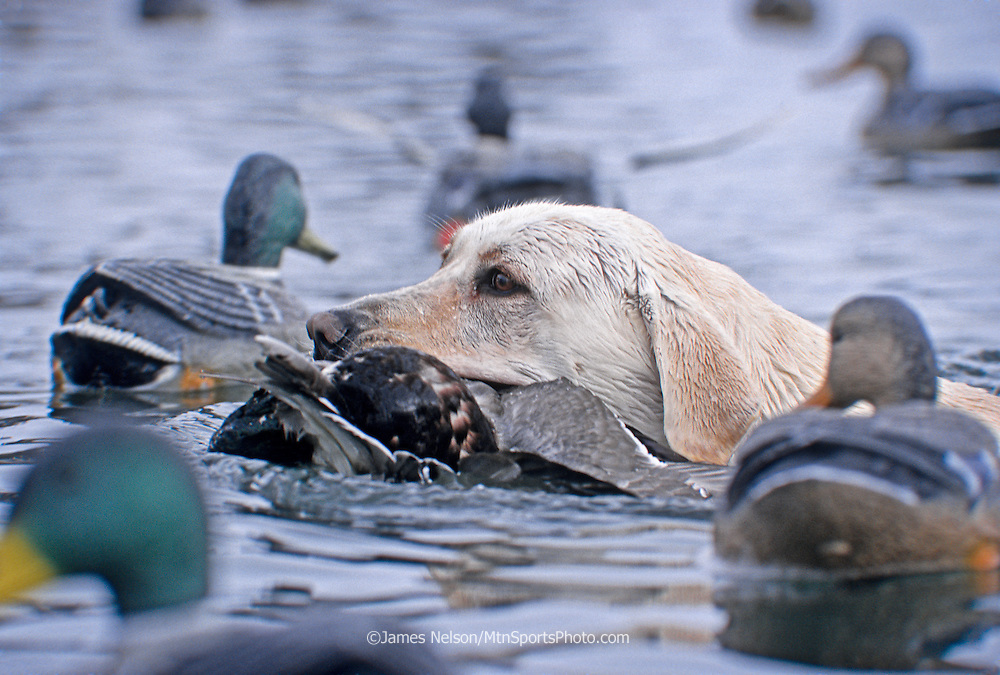 34-478. A yellow Labrador retriever swims through duck decoys while bringing a downed mallard to the blind on the Snake River, Idaho.