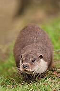 European Otter (Lutra lutra) captive bred cub, UK.