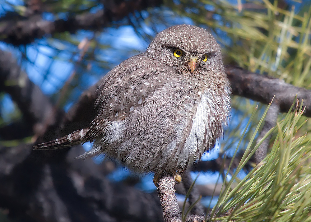 Northern Pygmy Owl photographed in my backyard in the foothills above Boulder, Colorado. The owl was being mobbed by angry nuthatches and chickadees when I first spied it. It continued to perch in the same location for at least  another two hours.