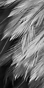 Black and white feather design artwork